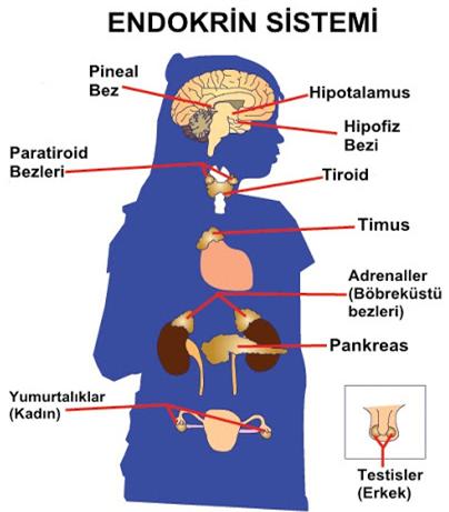 Endokrin sistem, doku
