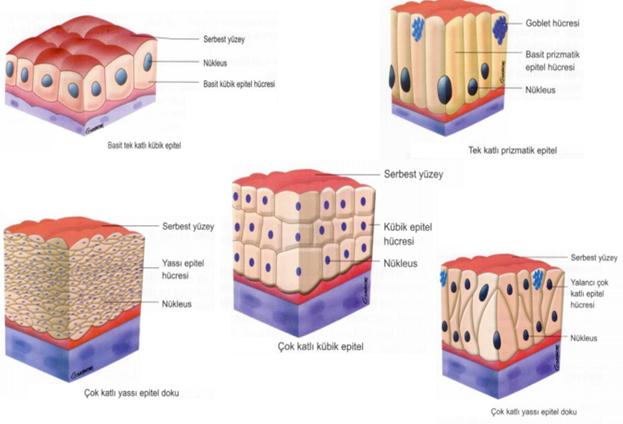 Hücre katmanlarına göre epitel doku grupları- dokular