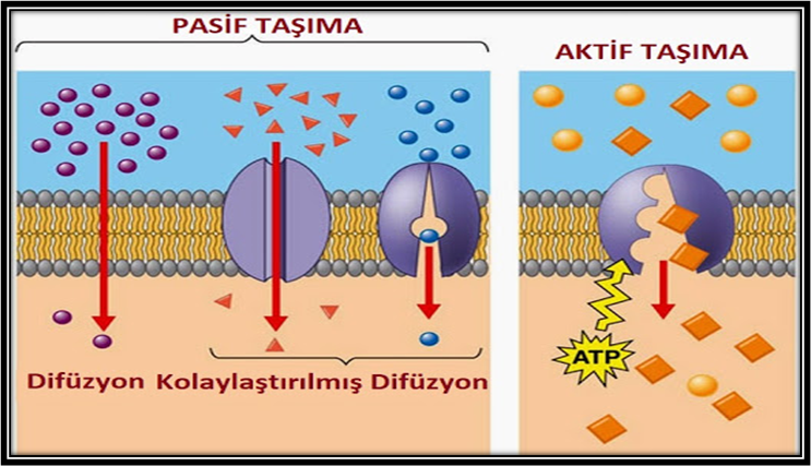 hücre içi Aktif ve Pasif Taşıma